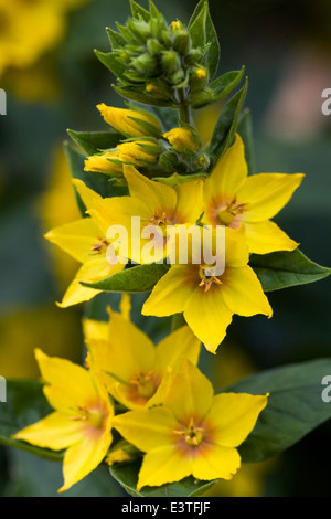 Lysimachia punctata. Dotted Loosestrife flowers. - Stock Photo