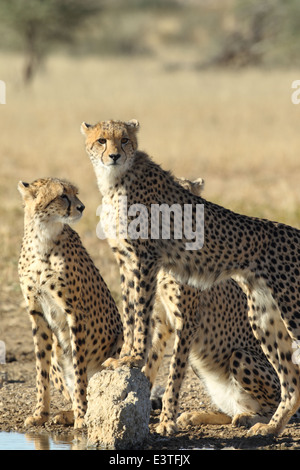 A family of cheetah at a waterhole in the Kgalagadi Transfrontier National Park. - Stock Photo