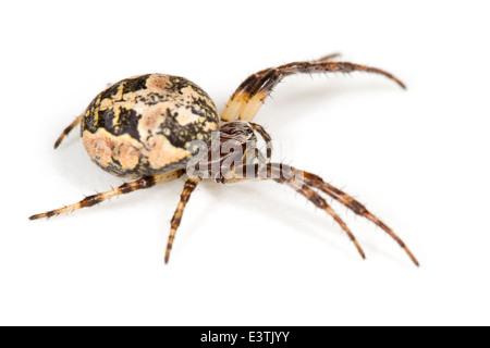 Female Furrow Orb-weaver (Larinioides cornutus) spider, part of the family Araneidae -  Orbweavers. Isolated on - Stock Photo