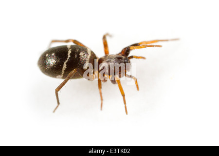 Female Glossy ant-spider (Micaria pulicaria), part of the family Gnaphosidae - Stealthy ground spiders. Isolated - Stock Photo