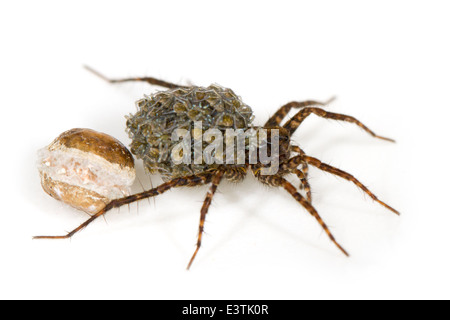 Female wolf spider (Pardosa sp), part of the family Lycosidae. Carrying its spiderlings that just emerged from the - Stock Photo