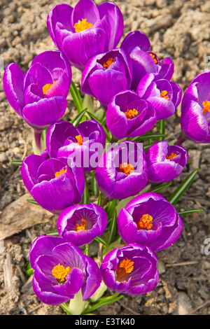 Crocuses first flowers of spring - Stock Photo