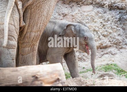Zurich, Switzerland. 28th June, 2014. The 11-day old elephant baby girl that was born in Zurich on June 17, 2014, - Stock Photo