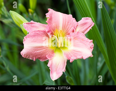 Hemerocallis 'Green Gold'. Daylily flower in the garden. - Stock Photo