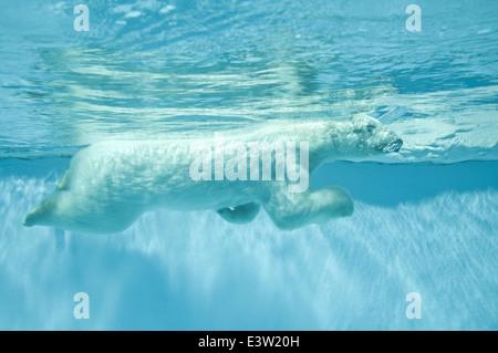 Swimming polar bear - Thalarctos Maritimus (Ursus maritimus) - Stock Photo
