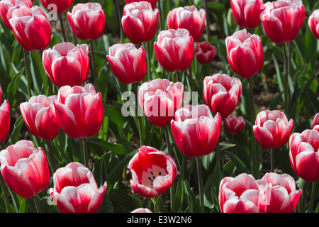 Red and white tulip, 'Timeless' flowering at RHS Wisley, Surrey, UK in springtime - Stock Photo