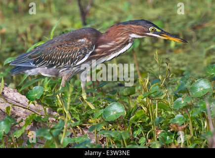 Green heron (Butorides virescens) hunting, Brazos Bend State Park, Texas, USA. Stock Photo