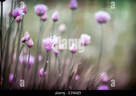 Purple flowers of flowering chives in garden - Stock Photo