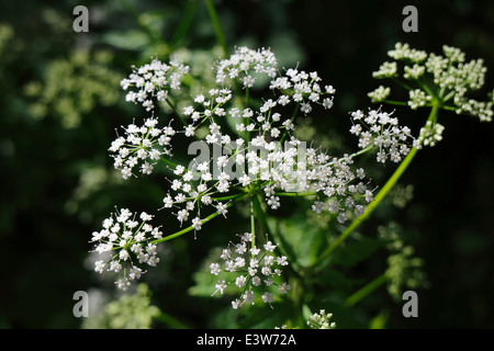 Anthriscus sylvestris, cow parsley, flowers - Stock Photo