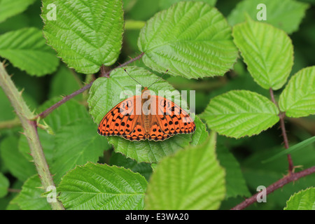 High Brown Fritillary (Argynnis adippe) - Stock Photo