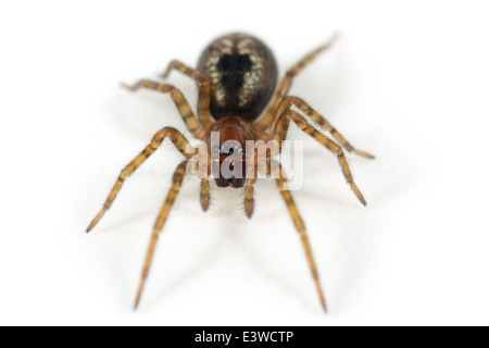 Window lace-weaver (Amaurobius fenestralis) spider, part of the family Amaurobiidae -  Tangled nest spiders. - Stock Photo