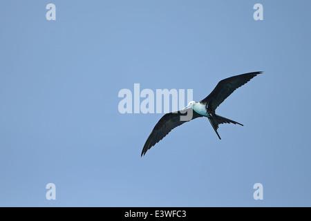 Magnificent Frigatebird (Fregata magnificens) - Stock Photo
