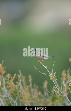 Eastern Subalpine Warbler (Sylvia cantillans) - Stock Photo