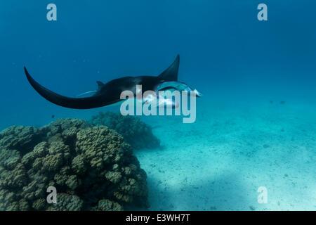 Reef Manta Ray (Manta alfredi) at coral block with cleaner fish station, Bora Bora, Leeward Islands, Society Islands - Stock Photo