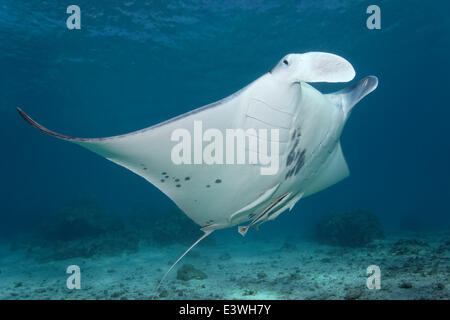 Reef Manta Ray (Manta alfredi) and Live Sharksuckers (Echeneis naucrates), Bora Bora, Leeward Islands, Society Islands - Stock Photo