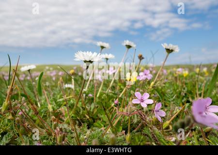 Machair grassland wild flowers growing in summer. Balranald RSPB Nature Reserve North Uist Outer Hebrides Western - Stock Photo