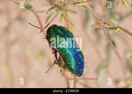 Jewel beetle (Acmaeodera viridaenea : Buprestidae) Namibia - Stock Photo