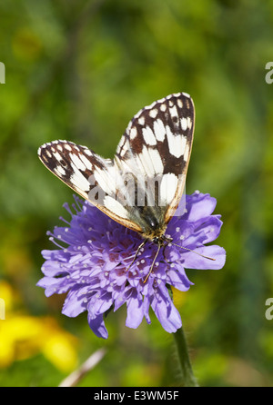 Marbled White butterfly feeding on Devil's Bit Scabious. Norbury Park, Mickleham, Surrey, England. - Stock Photo