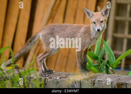 Urban fox cub stood on a garden wall - Stock Photo