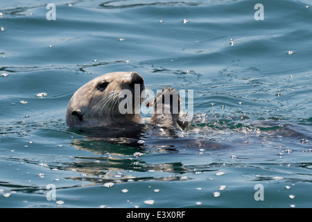 California Sea Otter (Enhydra lutris), eating shellfish off of its belly, Monterey, California, Pacific Ocean Stock Photo