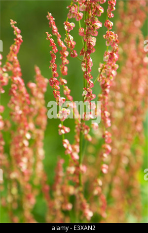 Tiny red flowers on tall stems in summer in Finland - Stock Photo