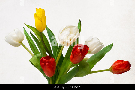 Seven Tulips, Four Colors. Closeup view of a bunch of three red, tree white and one yellow tulips in contrast with - Stock Photo