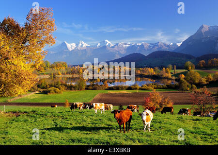 Cows in front of Uebeschisee Lake in autumn, Bernese Alps with mountains Eiger, Mönch and Jungfrau at the back, - Stock Photo