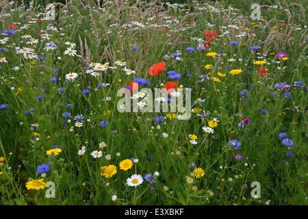 Flower meadow with Cornflowers (Centaurea cyanus), Corn Marigold (Chrysanthemum segetum), Sea Mayweed (Tripleurospermum - Stock Photo