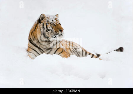 Siberian Tiger or Amur Tiger (Panthera tigris altaica), lying in the snow, captive, Saxony, Germany - Stock Photo