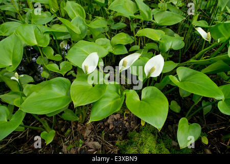 Bog Arum (Calla palustris), Lower Saxony, Germany - Stock Photo