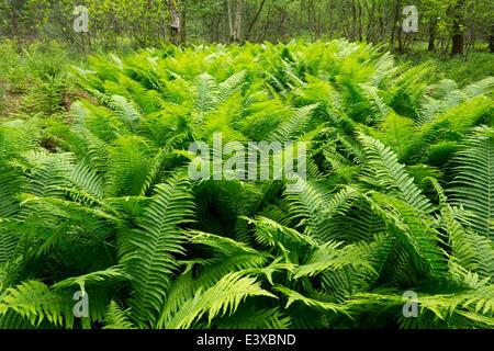 Male Fern (Dryopteris filix-mas), Lower Saxony, Germany - Stock Photo