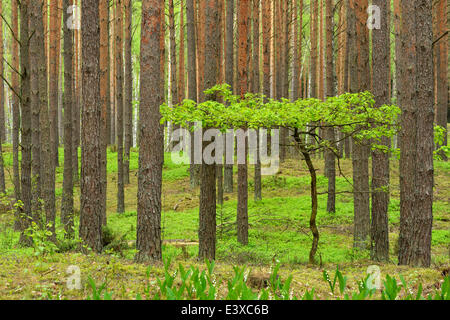 Young Oak tree (Quercus), growing in between Scots Pines (Pinus sylvestris) in a pine forest, Biebrza National Park, - Stock Photo