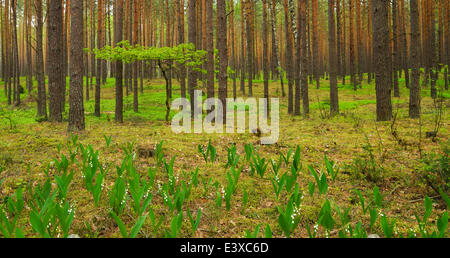 Young Oak tree (Quercus), growing in between Scots Pines (Pinus sylvestris) in a pine forest, with Lily of the Valley - Stock Photo