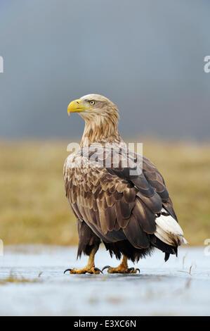 White-tailed Eagle (Haliaeetus albicilla), adult standing on ice, Łódź Voivodeship, Poland - Stock Photo