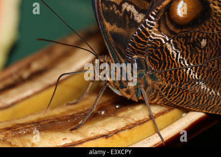 Forest Giant Owl Butterfly (Caligo eurilochus) ultra close-up while feeding - Stock Photo