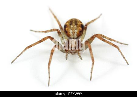 Female Turf running-spider (Philodromus cespitum), part of the family Philodromidae - Running crab spiders. Isolated - Stock Photo
