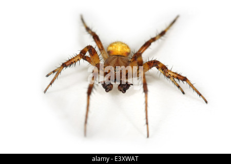 Male Four-spot orb weaver (Araneus quadratus) part of the family Araneidae - orbweavers. - Stock Photo