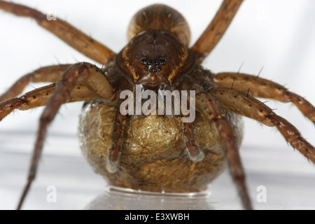 Female Fen Raft spider (Dolomedes plantarius) carrying its egg sac, part of the family Pisauridae - Nursery web - Stock Photo