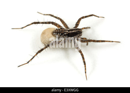 Female Pin-stripe wolf-spider (Pardosa monticola), part of the family Lycosidae - Wolf spiders. Carrying an egg - Stock Photo