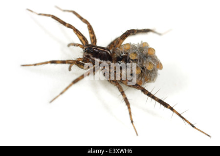 Female Pin-stripe wolf-spider (Pardosa monticola), part of the family Lycosidae - Wolf spiders. Carrying spiderlings - Stock Photo