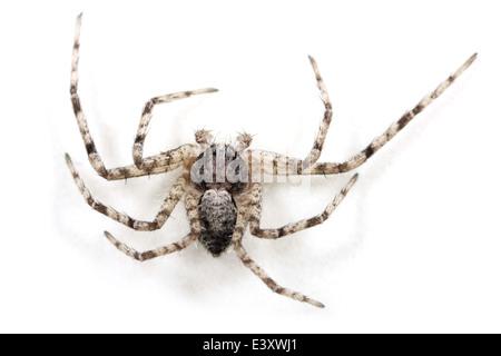 Lichen Running-spider (Philodromus margaritatus ), part of the family Philodromidae - Running crab spiders. - Stock Photo