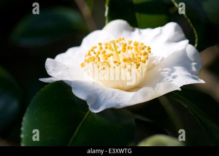 Camellia japonica 'Devonia'. Sir Harold Hillier Gardens. - Stock Photo