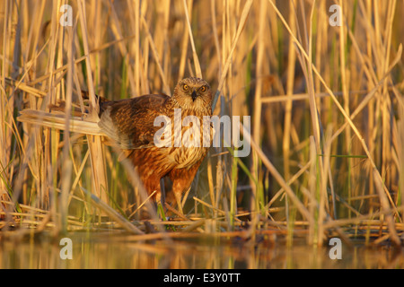 Male Marsh Harrier (Circus aeruginosus) at the edge of reed. - Stock Photo