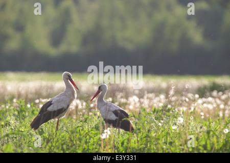White Stork (Ciconia ciconia). Europe - Stock Photo