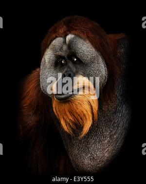 Orangutan Portrait On Black Background - Stock Photo