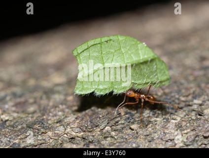 Leaf cutter ant, Atta sp.