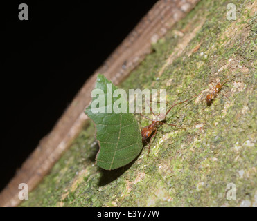 Leaf cutter ants, Atta sp., members of two different polymorphic castes of the colony - Stock Photo