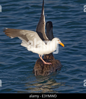 Western Gull Standing on Back of Brown Pelican - Stock Photo