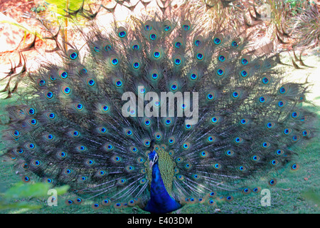 Pheasants and Partridges (Phasianidae) Indian Peafowl (Pavo cristatus) - Stock Photo