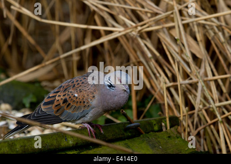 Turtle Dove (Streptopelia turtur) perched among reeds - Stock Photo